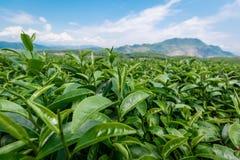 Листья чая Стоковые Фото