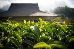 Листья чая Стоковые Изображения RF