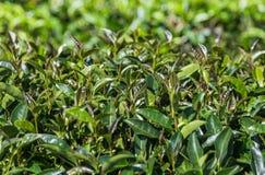 Листья чая Oolong на дереве в плантации Стоковые Изображения RF