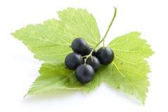 листья черной смородины Стоковые Фотографии RF