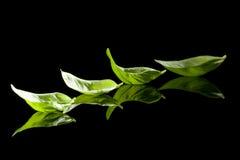 листья черноты базилика предпосылки Стоковые Изображения RF