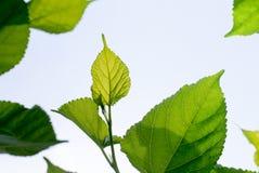 Листья шелковицы в солнечном свете Стоковые Фото