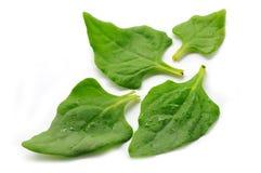 Листья шпината свежие Стоковые Фото