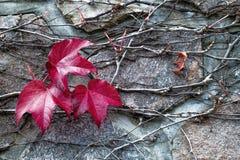 Листья льнуть к каменной стене Стоковые Изображения