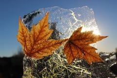 Листья льда клена стоковая фотография rf