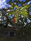 Листья яблок Красное одно стоковое фото rf