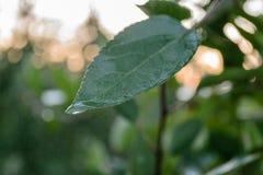 Листья яблока Стоковое фото RF