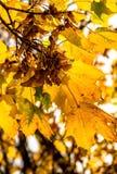 Листья явора Стоковые Фото