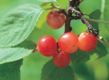 листья ягоды Стоковые Фотографии RF