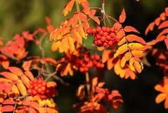 листья ягод осени Стоковое Изображение RF