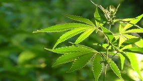 Листья яркого зеленого цвета пошатывая в ветре