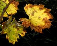 листья 05 виноградин Стоковые Изображения RF