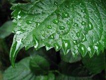 листья 2 влажные стоковая фотография
