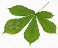 листья 2 каштана Стоковая Фотография