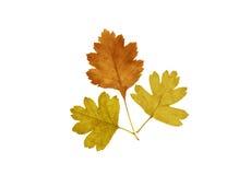 листья 3 боярышника Стоковое Фото