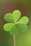 листья 3 клевера Стоковые Фото