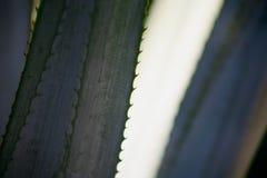 листья aave Стоковое фото RF