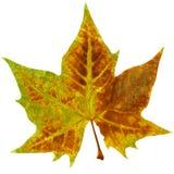 листья ahorn Стоковые Фото