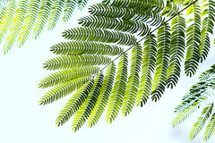 листья albizzia Стоковая Фотография