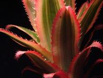 листья ananas Стоковое Изображение