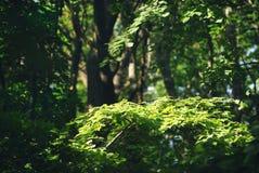 Листья Aspen в солнечном свете Стоковое Фото