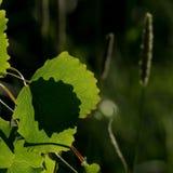 Листья Aspen с перекрывая тенями Стоковое фото RF