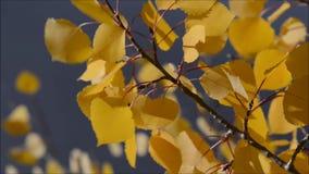 Листья Aspen дуя в ветре сток-видео