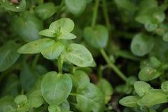 Листья beccabunga Вероники, европейского speedwell стоковая фотография