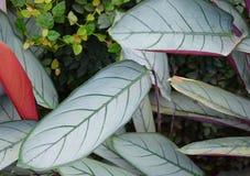Листья Billbergia - абстрактная предпосылка зеленого цвета фисташки окружающей среды Стоковые Изображения RF