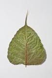 листья bo сухие Стоковое Фото