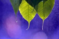 Листья Bodhi в дожде Стоковые Фото
