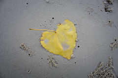 Листья bodhi на пляже Стоковая Фотография