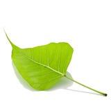листья bodhi Стоковые Изображения