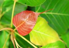 листья bodhi Стоковая Фотография RF