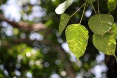 Листья Bodhi Стоковые Фотографии RF