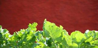 листья brassica стоковое изображение rf