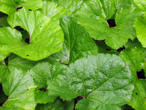листья burdock Стоковая Фотография RF