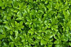 листья bush стоковая фотография