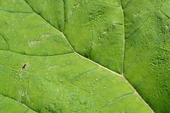 листья butterbur Стоковые Изображения RF