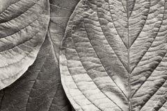 листья bw Стоковое Фото