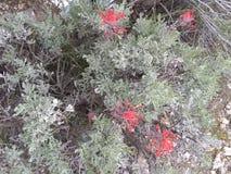Листья c зеленого цвета индийского paintbrush стоковые фото