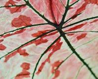 Листья Caladium Стоковая Фотография