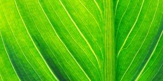 листья calla стоковая фотография rf