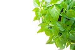 Листья Capsicum Стоковые Фотографии RF