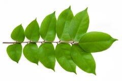 листья carambola Стоковые Изображения
