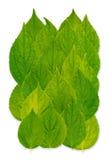 листья celinda Стоковая Фотография