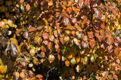 Листья Colorfull одичалого крупного плана груши на дереве Стоковое Изображение