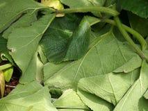 Листья Cucurbits Стоковое Изображение RF