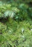 Листья Cypress Стоковое фото RF