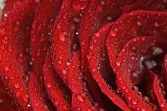 листья dewdrop подняли Стоковые Изображения